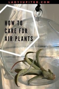 Air Plant Placement + Care #milspouse #milblogger #airplants